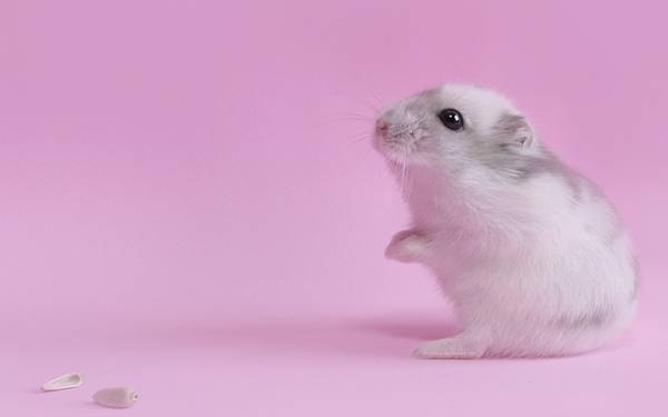 wallpaper-hamsters-photo-05